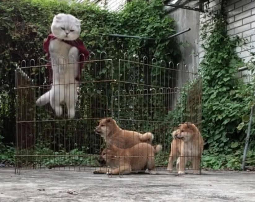 猫咪展示了越狱技能后,柴犬惊呆了,说:大哥,你怎么不教我们?w5b