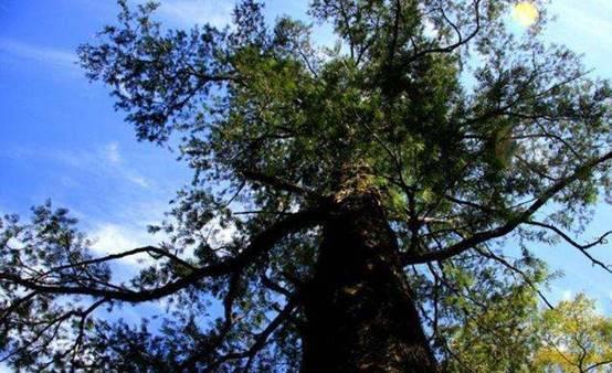 """全球仅此一棵的树木,每天都有""""保镖""""看守,就在我国浙江"""