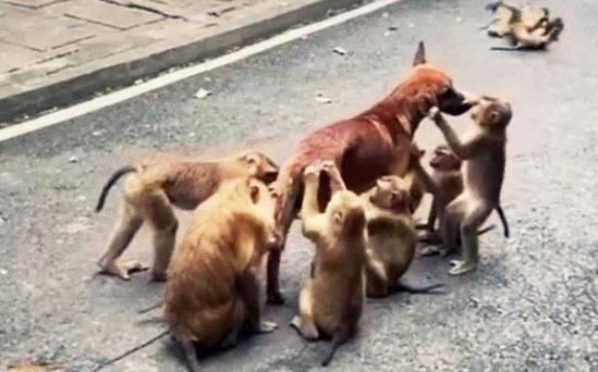 流浪狗误入景区,被一群猴子纠缠,网友:像极了被促销员拉住的我