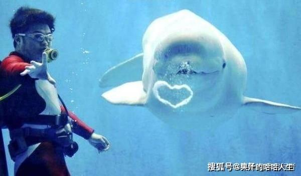 面对海洋中真正的霸主,大白鲨为什么会毫无还手之力?