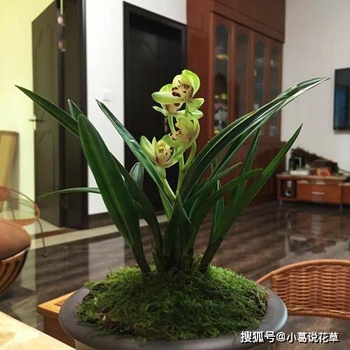 盆栽兰花:如何养得姿态优美、花朵幽香?把握住6点就够了