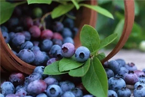 ✔️[美食 吃吃喝喝資訊]周末出遊必睇!涪陵最新藍莓采摘攻略來了,汁多個頭大味道還 ...