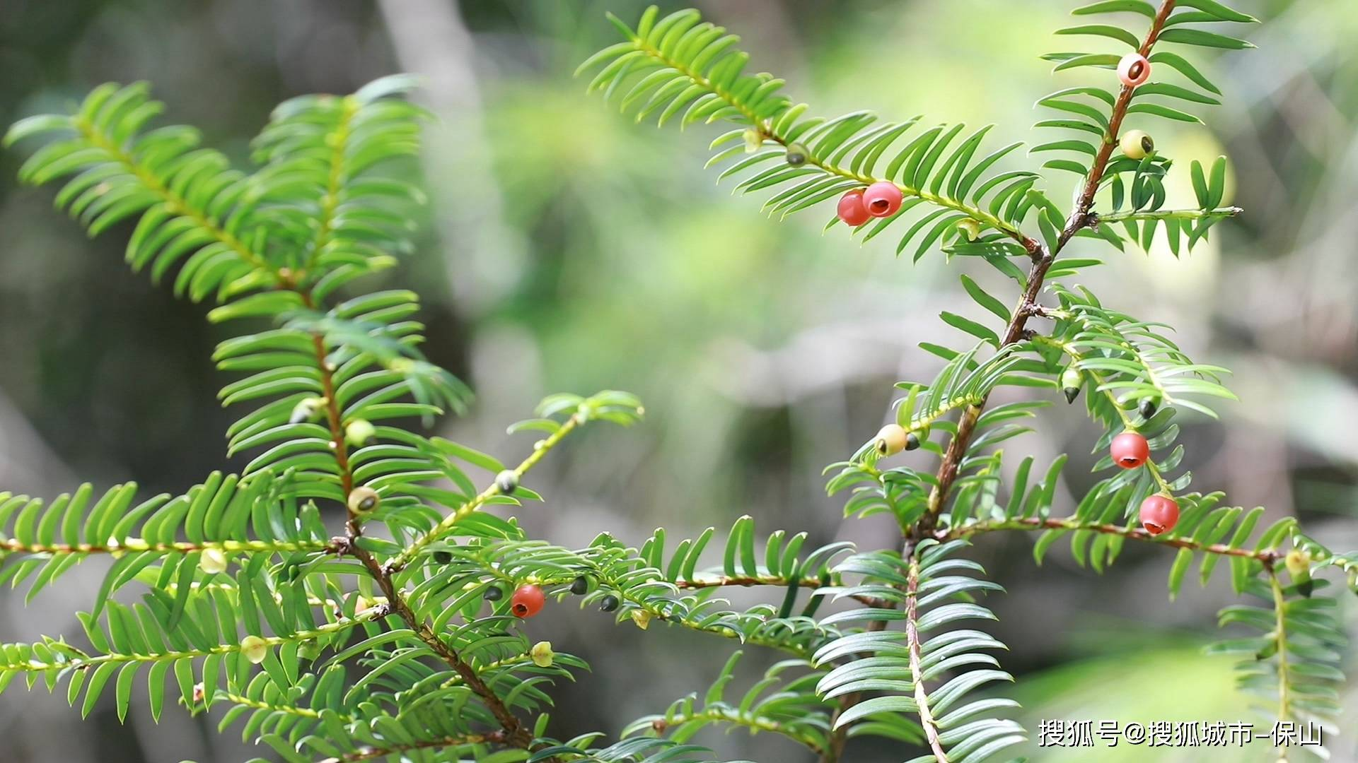云南施甸:惊现须弥红豆杉 种群树龄逾百年