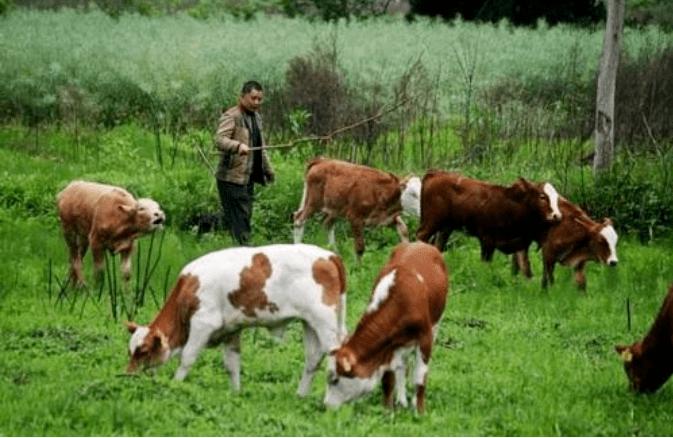 如何做到青饲料、多汁饲料安全喂牛?