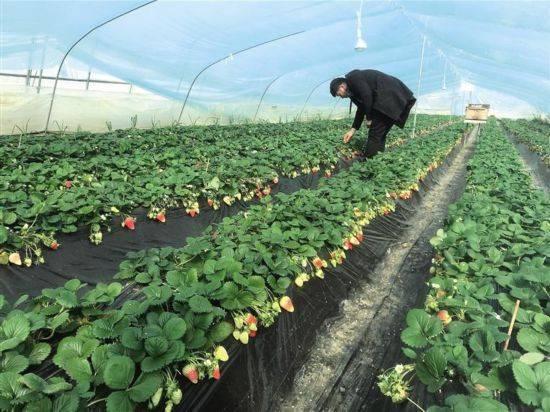 设备温室大棚春来早新鲜的草莓苗令人垂涎三尺