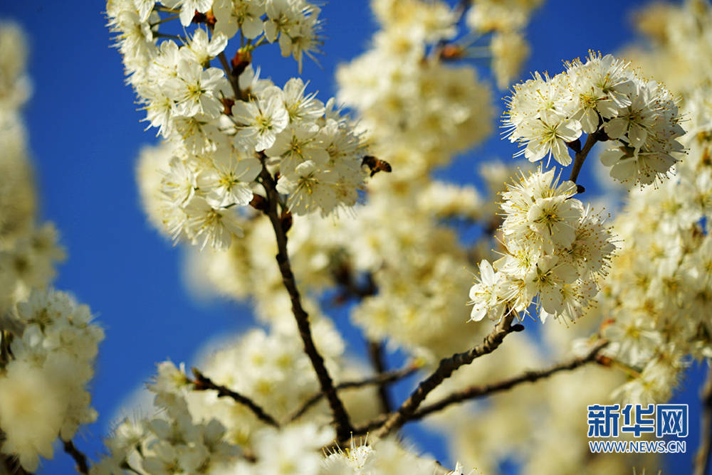 陕西旬阳:千亩樱花迎客来