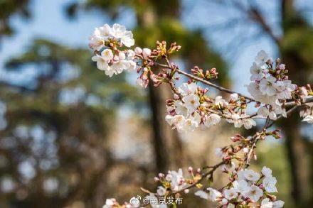 玄武湖樱花开了!