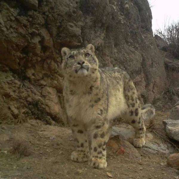 全国首例!通讯卫星跟踪东北狼主题活动在甘肃省获得成功