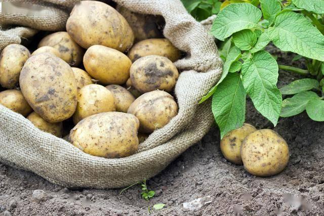 #种植业技术 大春马铃薯原种生产覆膜集雨保墒高效栽培技术