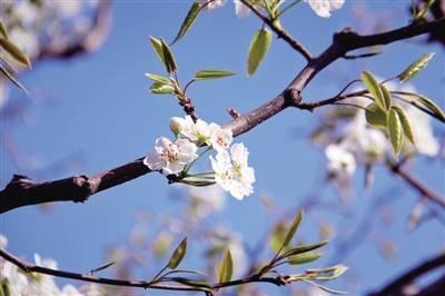 樱桃沟内花盛开艳漂亮春天景色醉游客