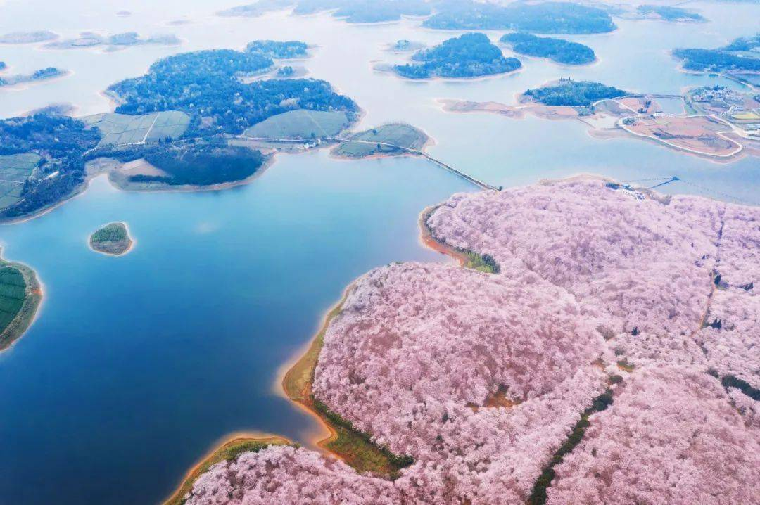 美过日本,不输武汉,全球最大的樱花基地竟在中国,还免费! (图3)