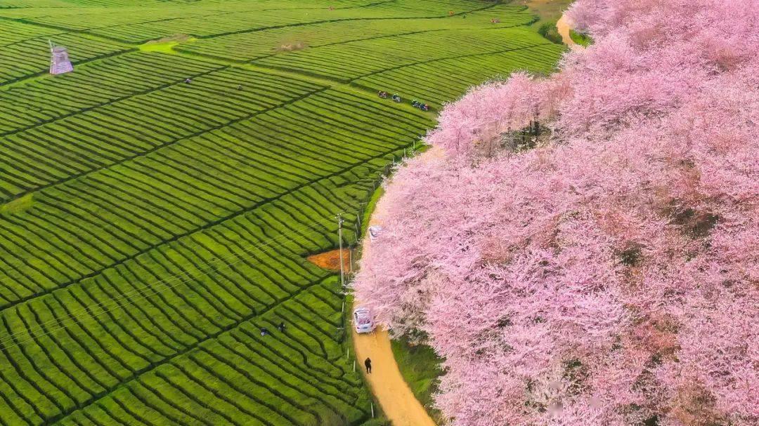 美过日本,不输武汉,全球最大的樱花基地竟在中国,还免费! (图30)
