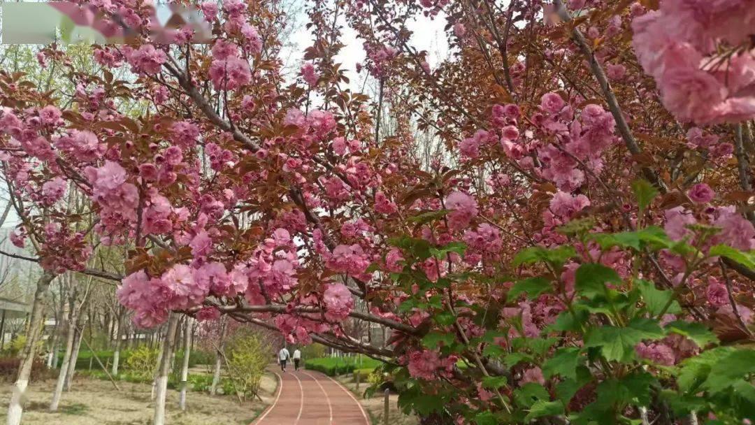人间最美四月天,太原和平公园第五届樱花节开始了