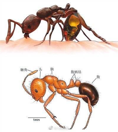 红火蚁位列全球百种最危险入侵物种