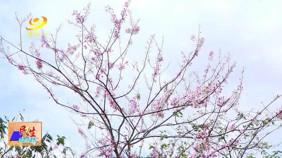 绚丽花旗木吸引市民争相打卡