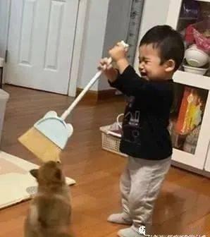 调皮汪将扫把当玩具紧咬不放,场面让一旁的妈妈看了哭笑不得!