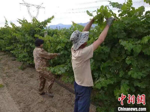 新疆和硕打造焉耆盆地葡萄酒庄产业集群(图2)